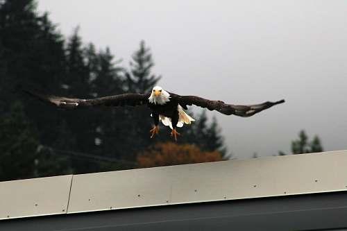 eagle bald eagle flora