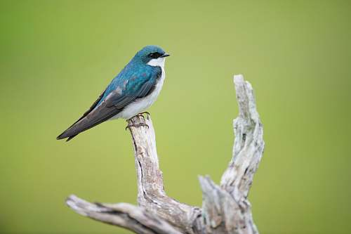 animal blue and white bird on tree branch swallow