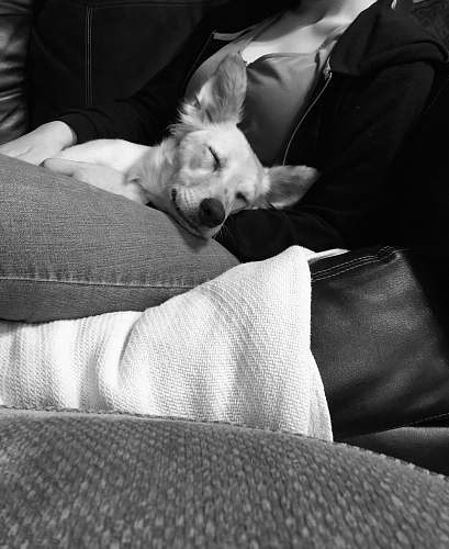 pillow grayscale photography of dog sleeping on woman's lap cushion