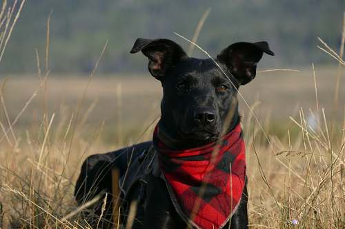 pet black dog with scarf standing on grass field pinedale