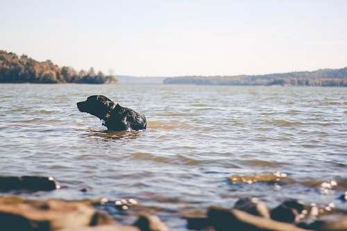 water black Labrador dog on body of water animal