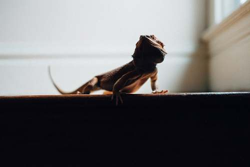 united states pogona near white wall pet