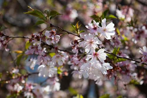 blossom white-and-pink petaled flowers cherry blossom