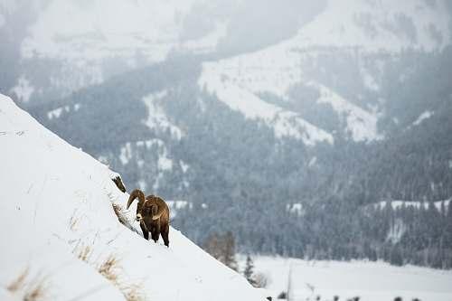 mammal brown animal on snow covered mountain during daytime animal