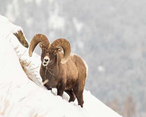 animal brown ram on snow covered ground during daytime sheep