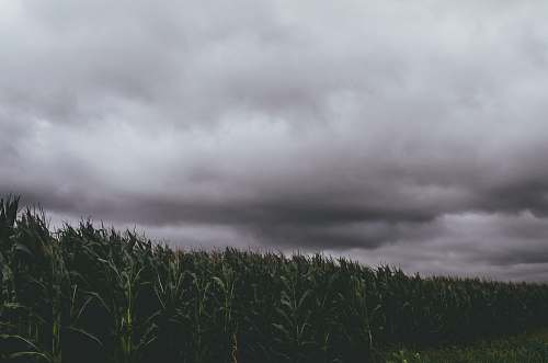 grey corn crops during daytime weather
