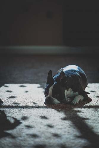 dog black and white French bulldog laying on floor animal