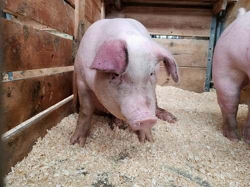 animal pink pig on brown cage mammal