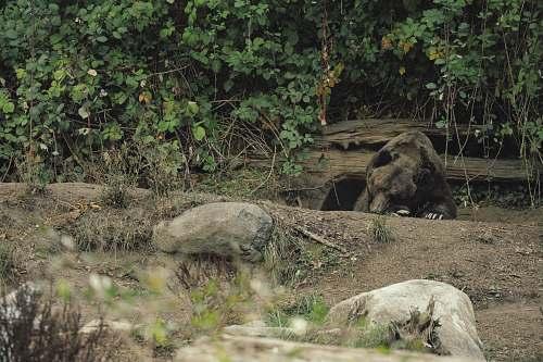 flora brown bear lying under green trees vine
