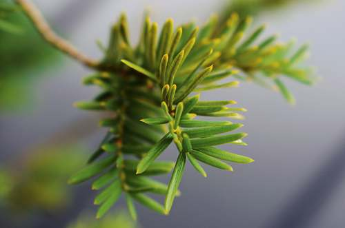tree green pine leaves conifer