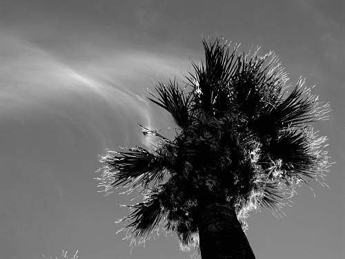 black-and-white grayscale photography of palm tree anza-borrego desert state park