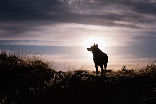 flaming gorge reservoir silhouette of a wolf during sunrise silhouette