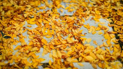 manchester yellow leaves on ground leaves