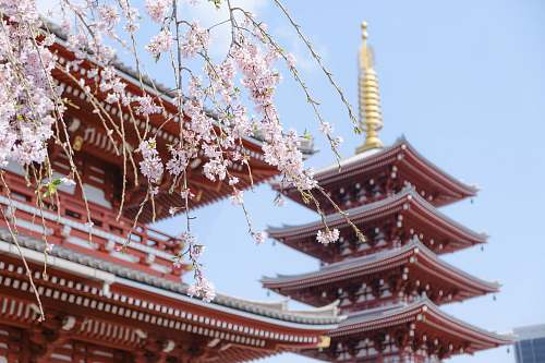 building red temple surrounded with pink cherry blossoms pagoda