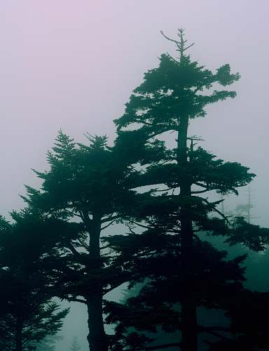 conifer green trees with fog background fir
