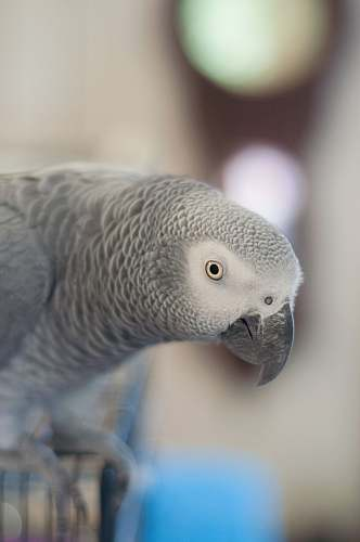 animal African Gray parrot selective focus photography bird