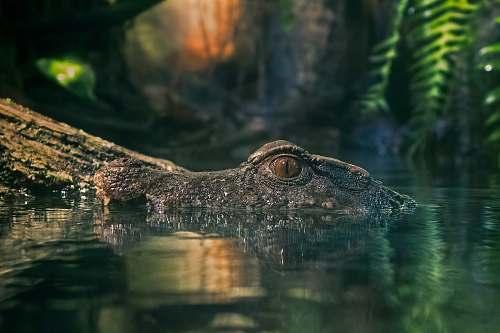 crocodile macro photography of crocodile on body of water animal