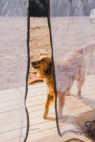 dog adult Golden Retriever outside mosquito net during daytime catskill