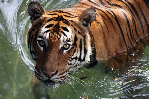 mammal adult tiger on water tiger