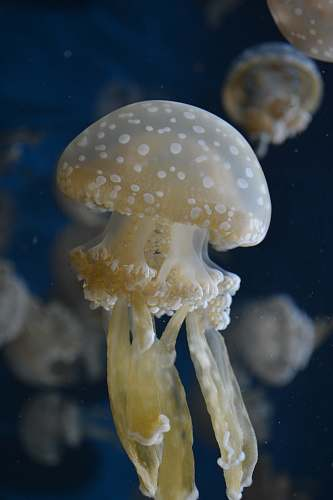 jellyfish beige jelly fish invertebrate