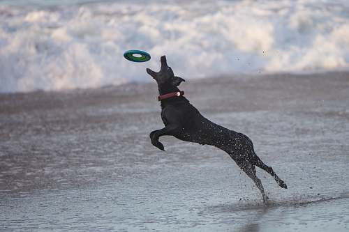 dog black dog catching frisbee santa cruz