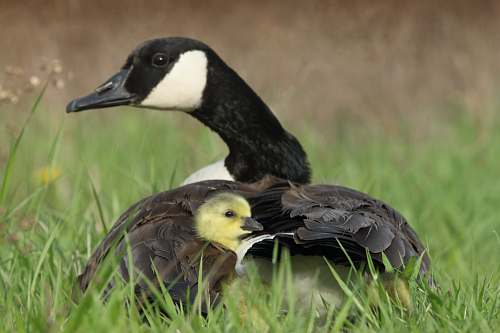 bird black duck beside duckling on grass goose