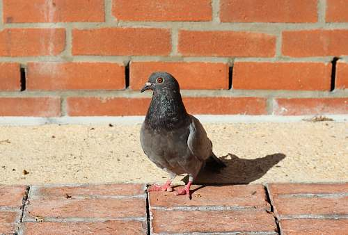 bird black pigeon on brown concrete bricks pigeon