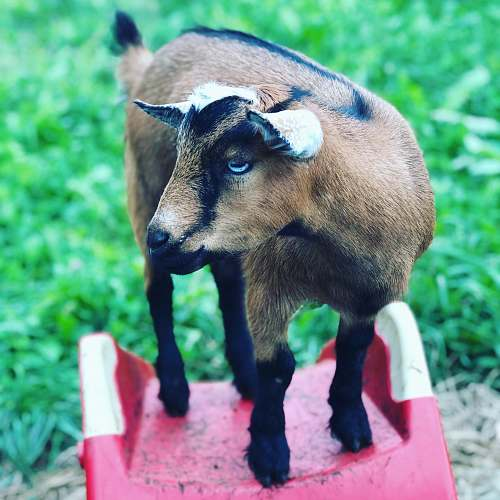 goat brown and black goat kid on red surface mammal