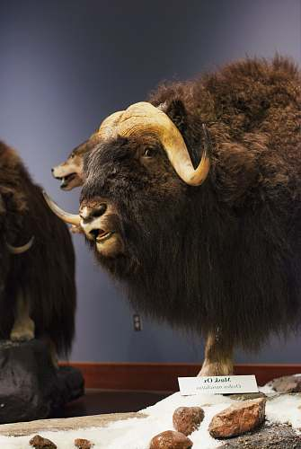 mammal brown and gray hairy ox taxidermy byu campus