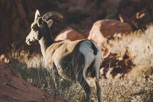 goat brown and white deer on grassland utah