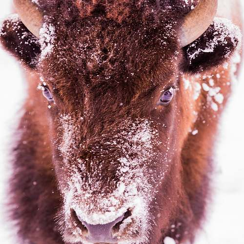 mammal brown animal in close up photography bison