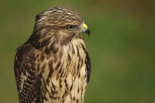 buzzard brown eagle north carolina