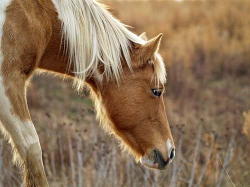 horse brown horse with white mane eating foal