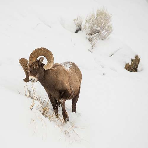 mammal brown ram on snow covered ground during daytime sheep