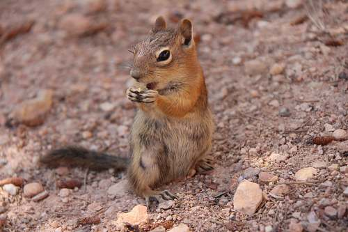 rodent brown squirrel standing on gravel squirrel
