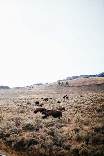 bison cattle on field cattle