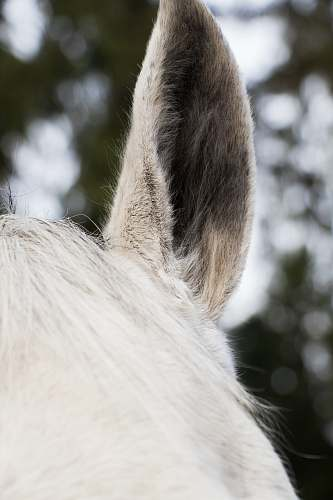 mammal close-up of white horse ear horse