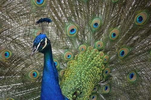 bird closeup photo of peacock peacock