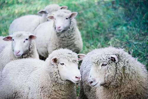 sheep five white sheep on green land mammal