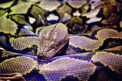 snake gray and black python reptile