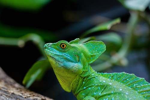 lizard green iguana reptile