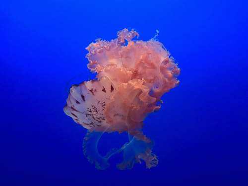 jellyfish jelly fish on sea invertebrate