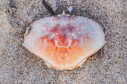 conch orange crab on brown sand invertebrate