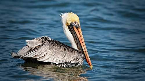 bird pelican on body of water pelican