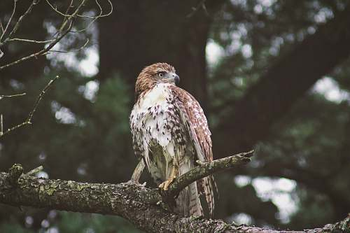 bird perched eagle buzzard