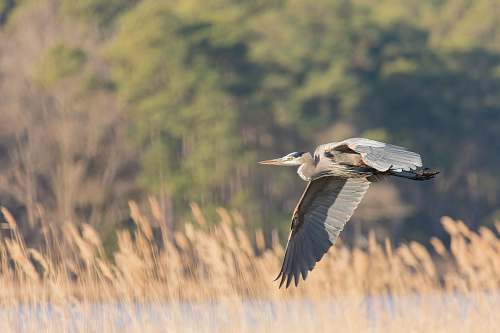bird photo of pelican flying heron