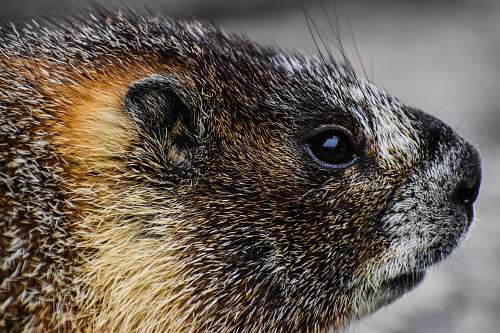 beaver photography of brown and black animal rodent