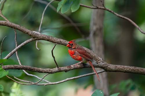 bird red and grey bird cardinal
