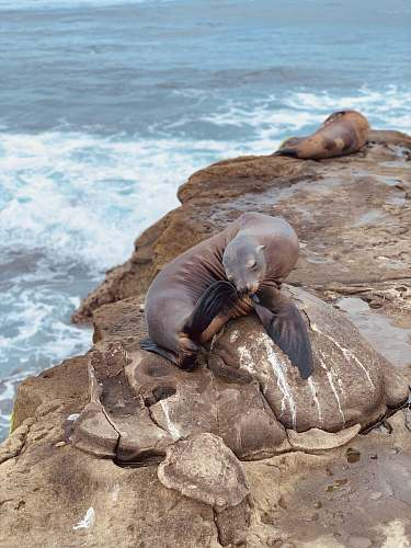 mammal sea lion on rock formation during daytime sea life