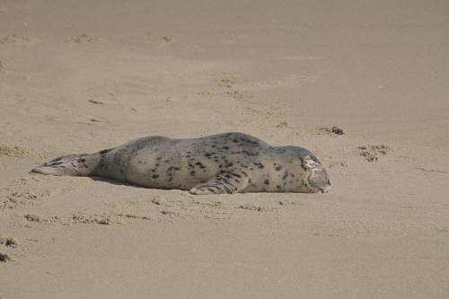 photo seal seal lying on brown sand mammal free for commercial use images